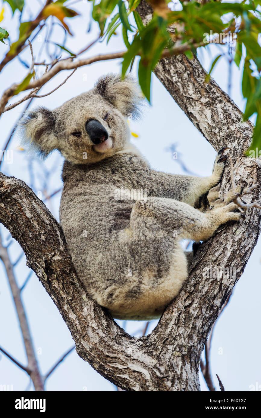 Wild Koala, Magnetic Island. Townsville, Queensland, Australia. - Stock Image