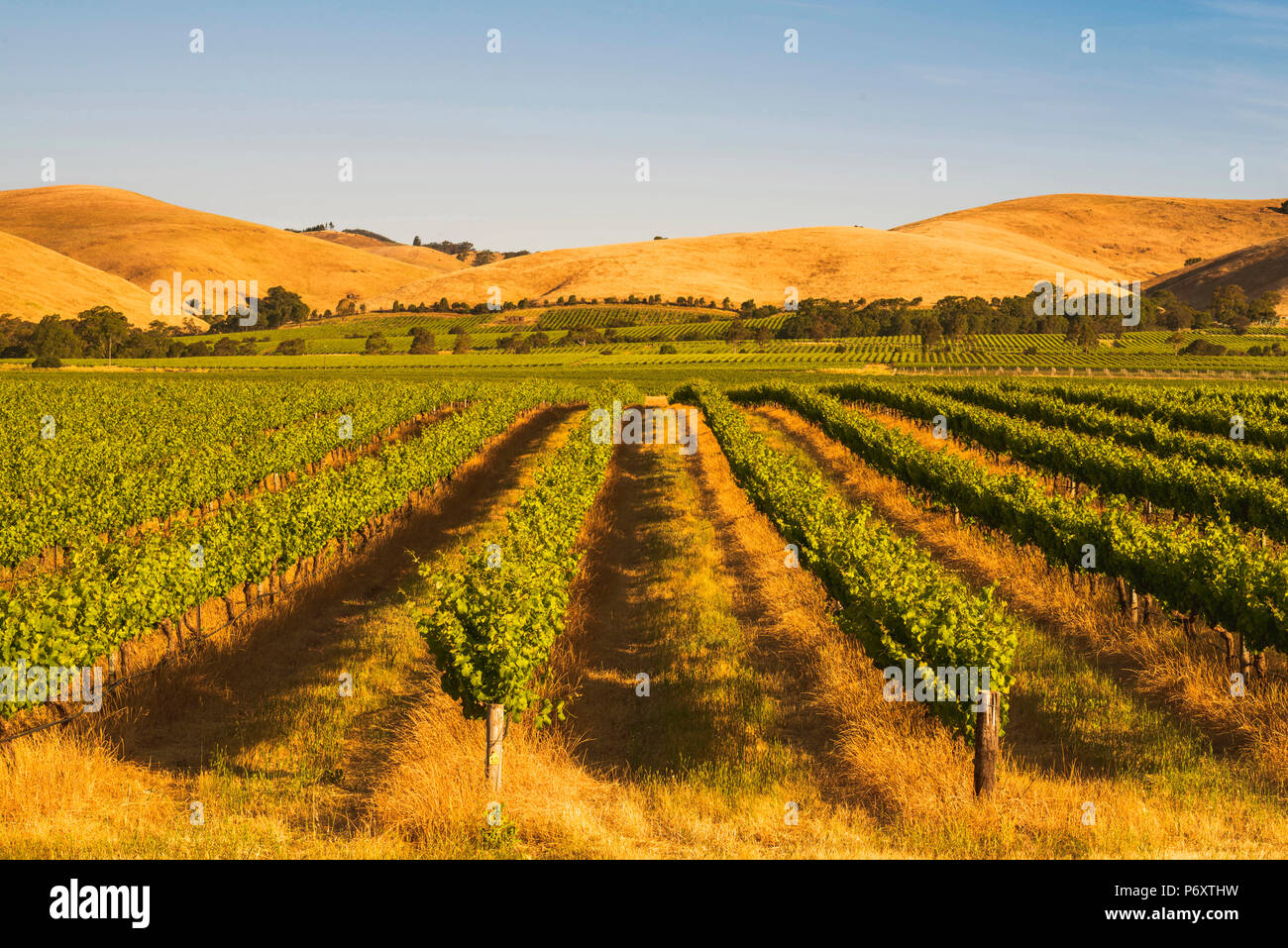 Barossa Valley, South Australia, Australia. Jacob's Creek vineyard at sunset. Stock Photo
