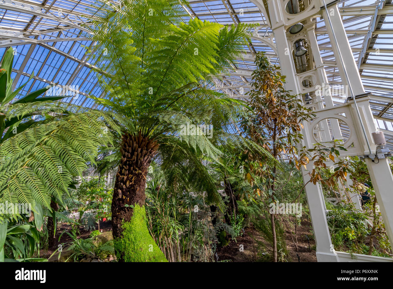 Dicksonia antarctica at the newly restored Temperate House at The Royal Botanic Gardens, Kew in London has re-opened to visitors . - Stock Image