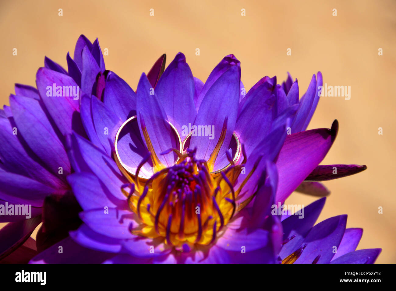 Gold wedding rings on beautiful purple lotus flowers on the foto of gold wedding rings on beautiful purple lotus flowers on the foto of sand close up a symbol of buddha a wedding a bond of marriage mightylinksfo