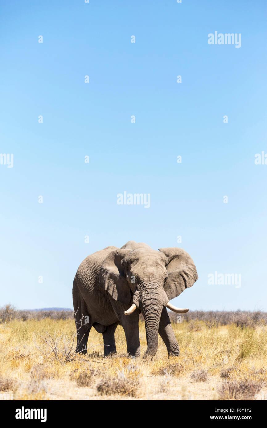 Lonely elephant in Etosha, Namibia, Africa - Stock Image