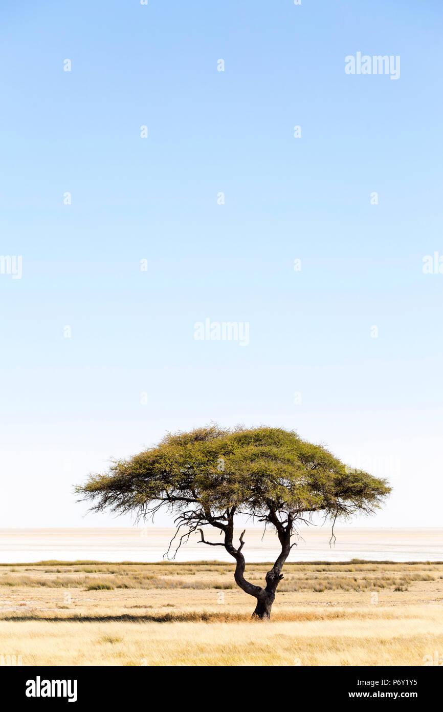 Etosha Pan, Namibia, Africa. Lonely tree - Stock Image