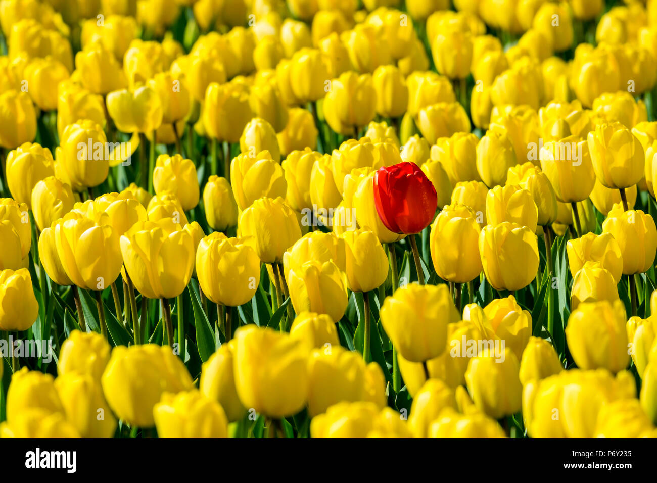 Netherlands, South Holland, Nordwijkerhout. A single red tulip flower in a field of yellow tulips. - Stock Image