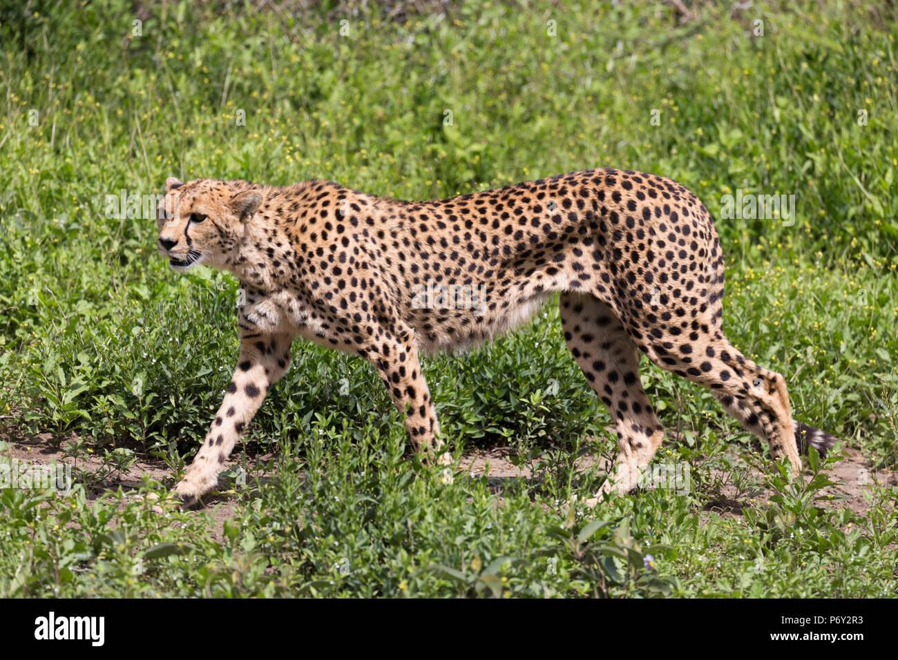 A cheetah walks across the grasslands of the Serengeti, Serengeti, Tanzania - Stock Image