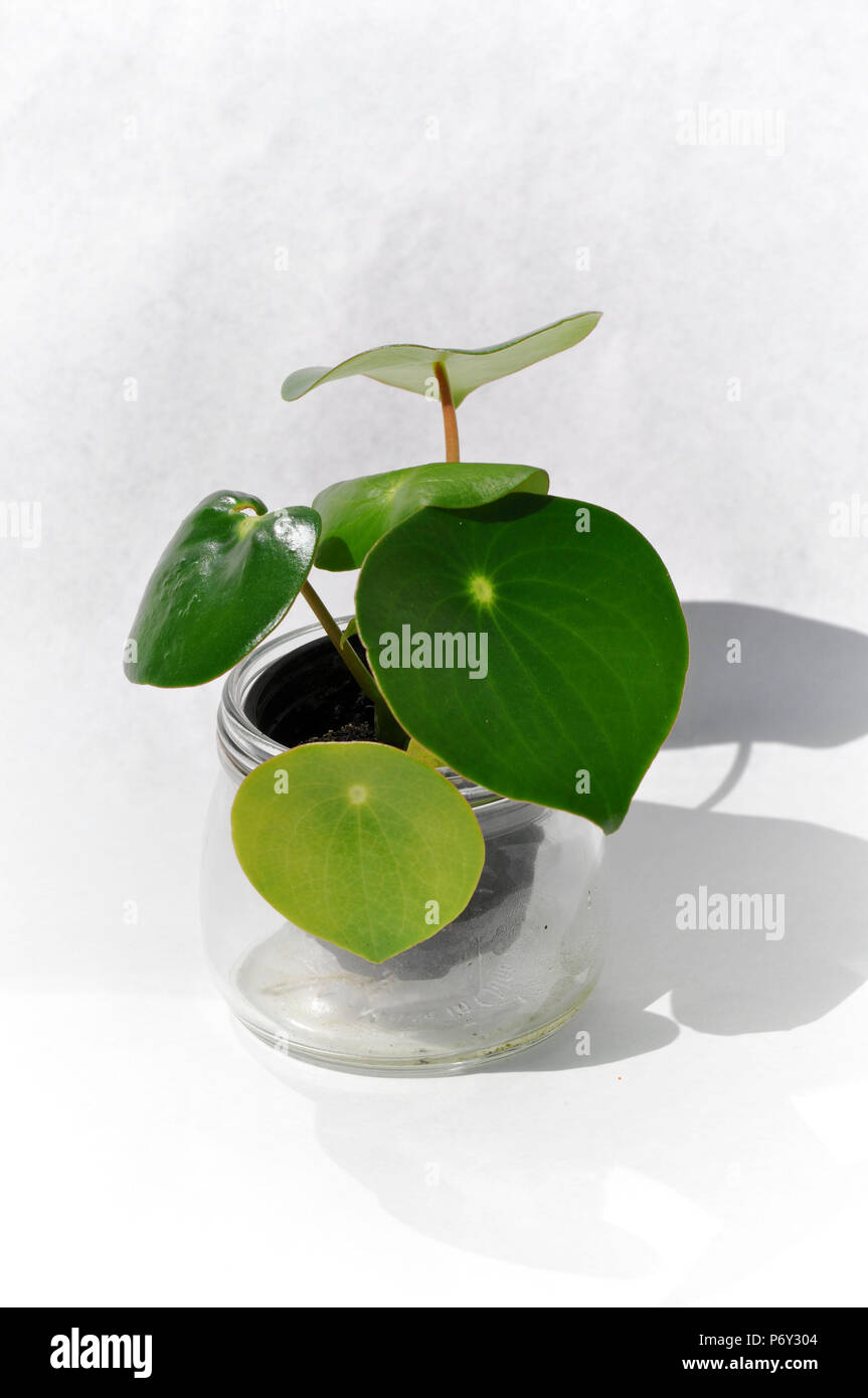Chinese coin plant - Stock Image