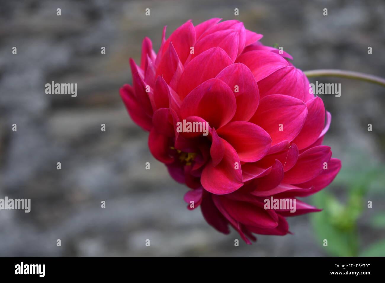 red flower of dahalia - Stock Image