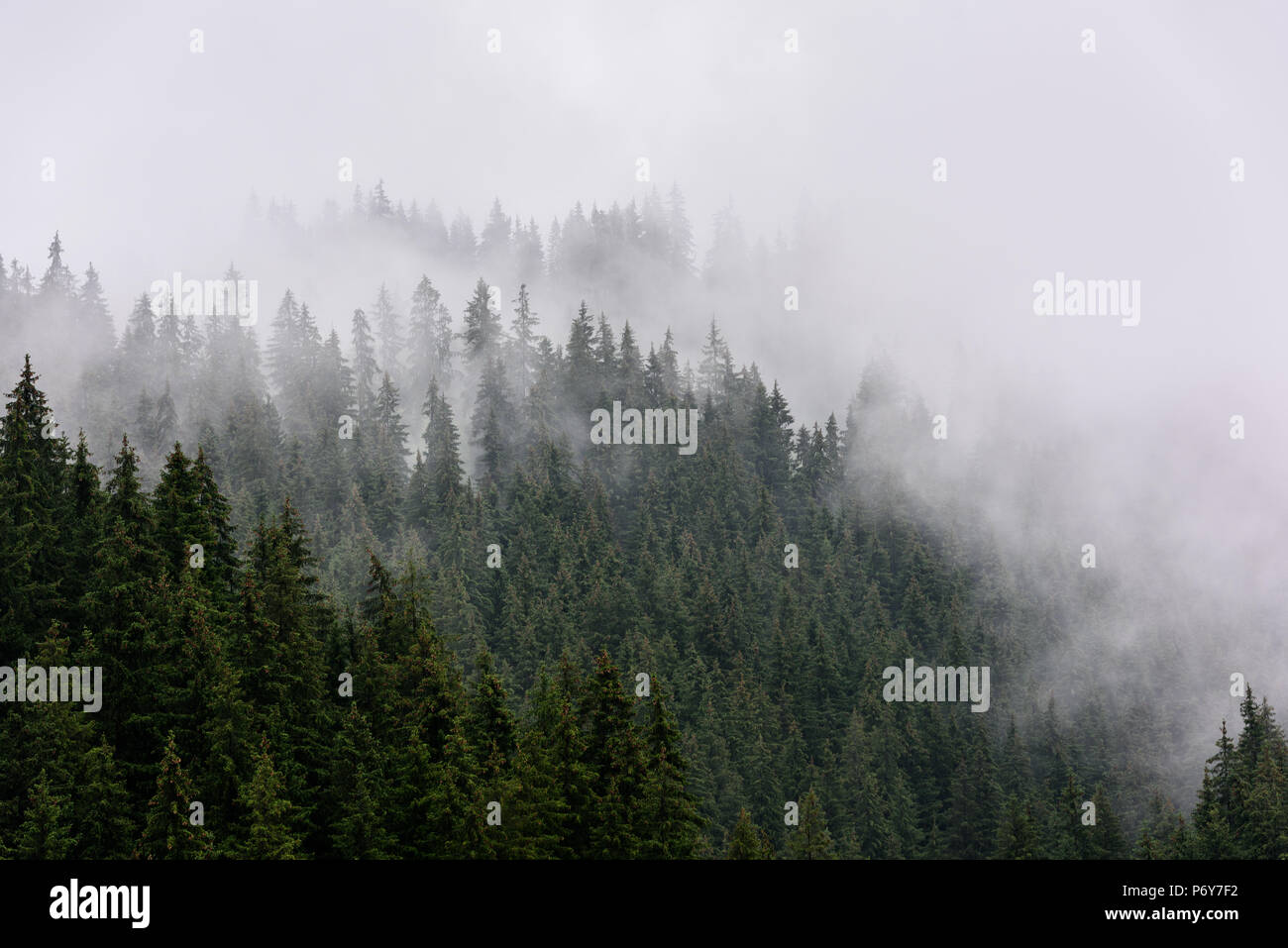 Foggy Pine Forest. Stock Photo