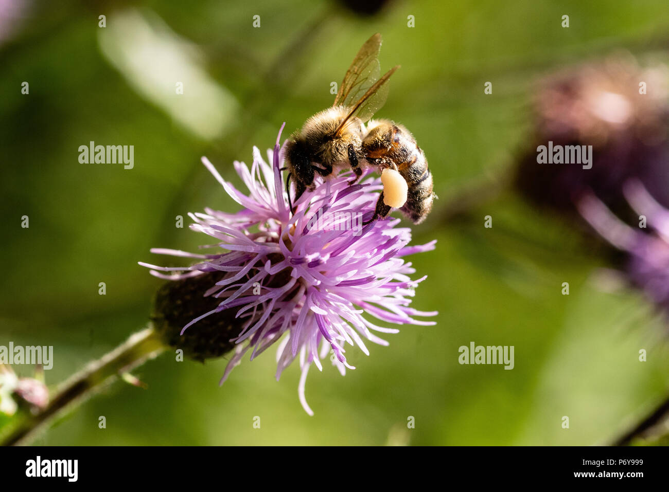 Honey Bee, creeping thistle, Black Forest, Germany Stock Photo