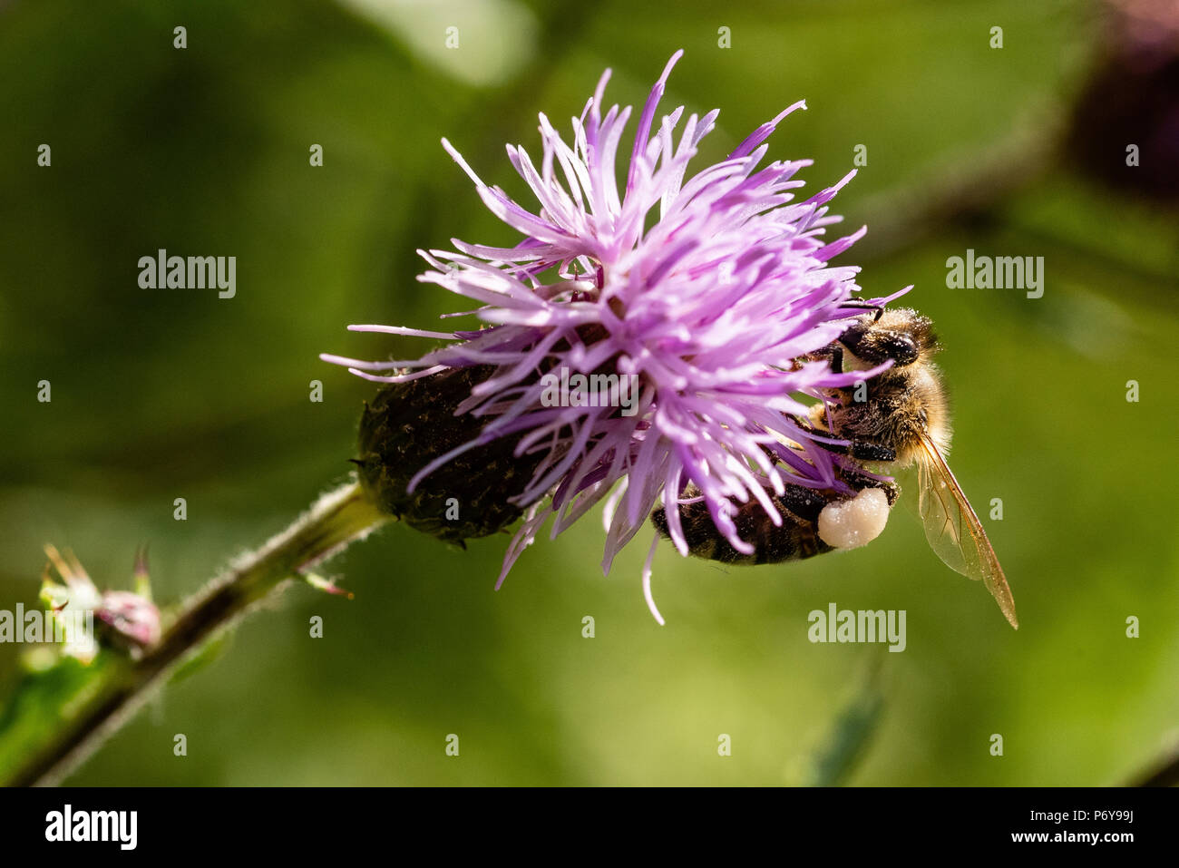 Honey Bee, creeping thistle, Black Forest, Germany - Stock Image