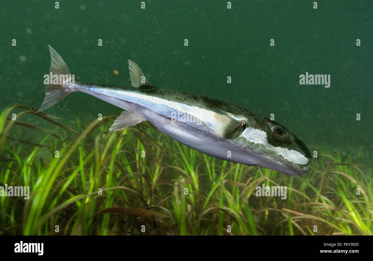 Silver-cheeked toadfish, Lagocephalus sceleratus. Stock Photo