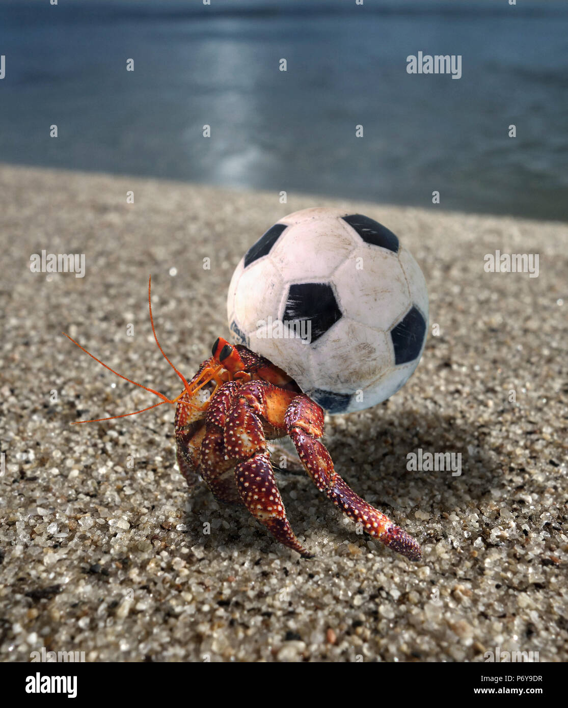 Hermit crab using a small plastic football ball as a shell. - Stock Image