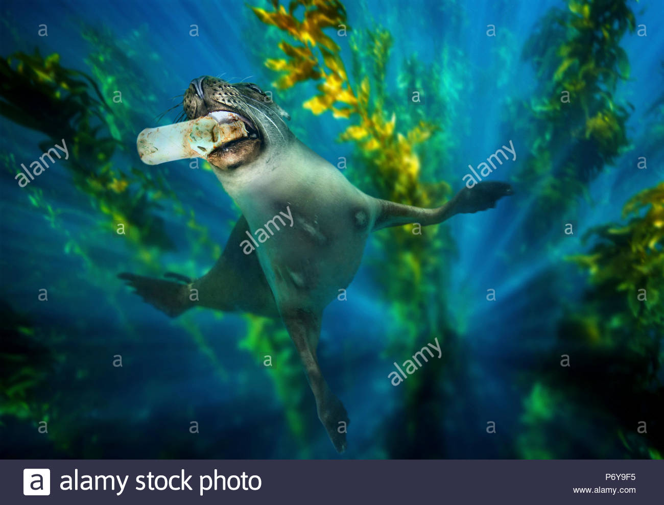 Sea lion nibbling a plastic bottle underwater. - Stock Image