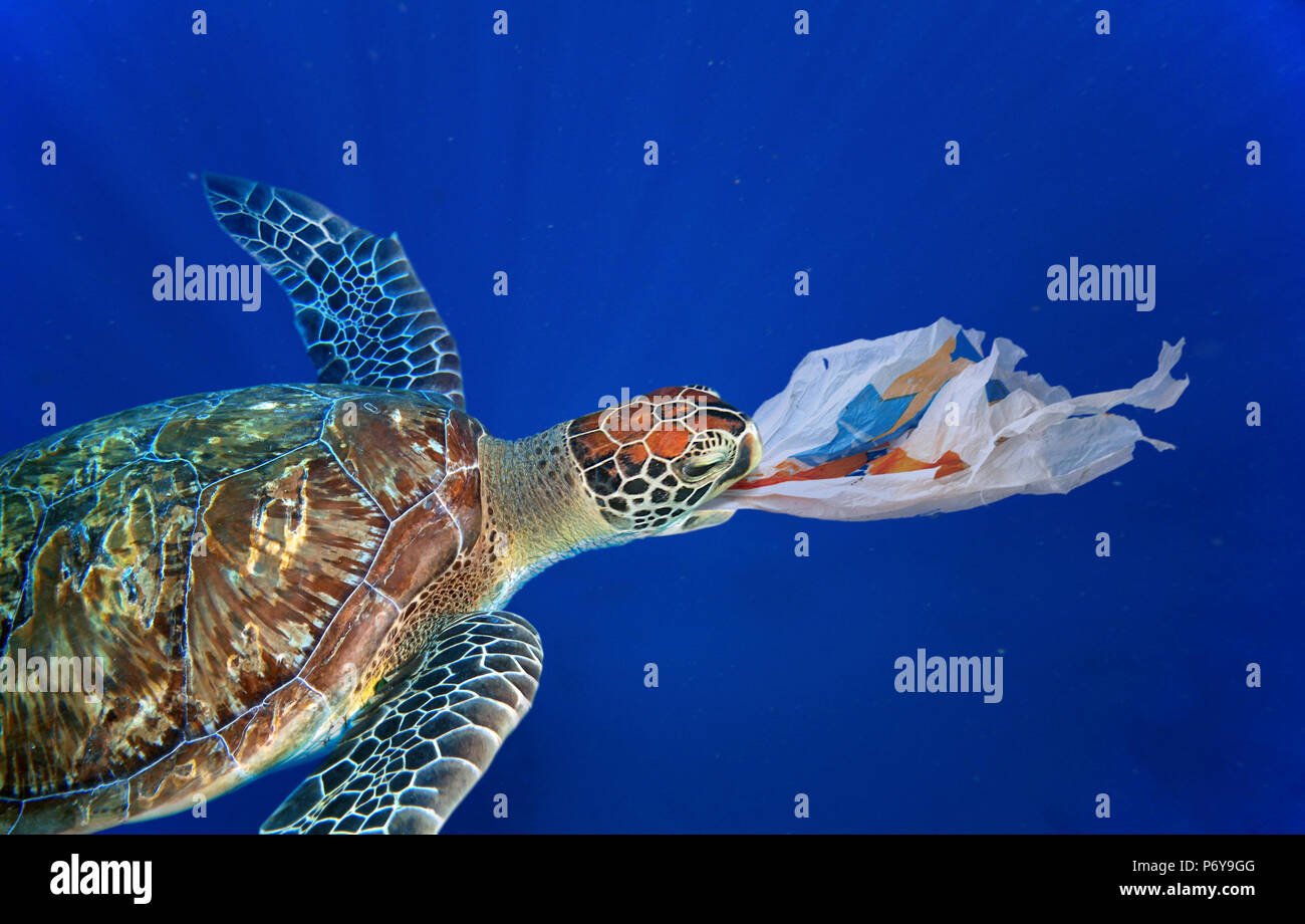 Sea turtle swallowing a plastic bag much like a jellyfish that is one of its natural food. - Stock Image