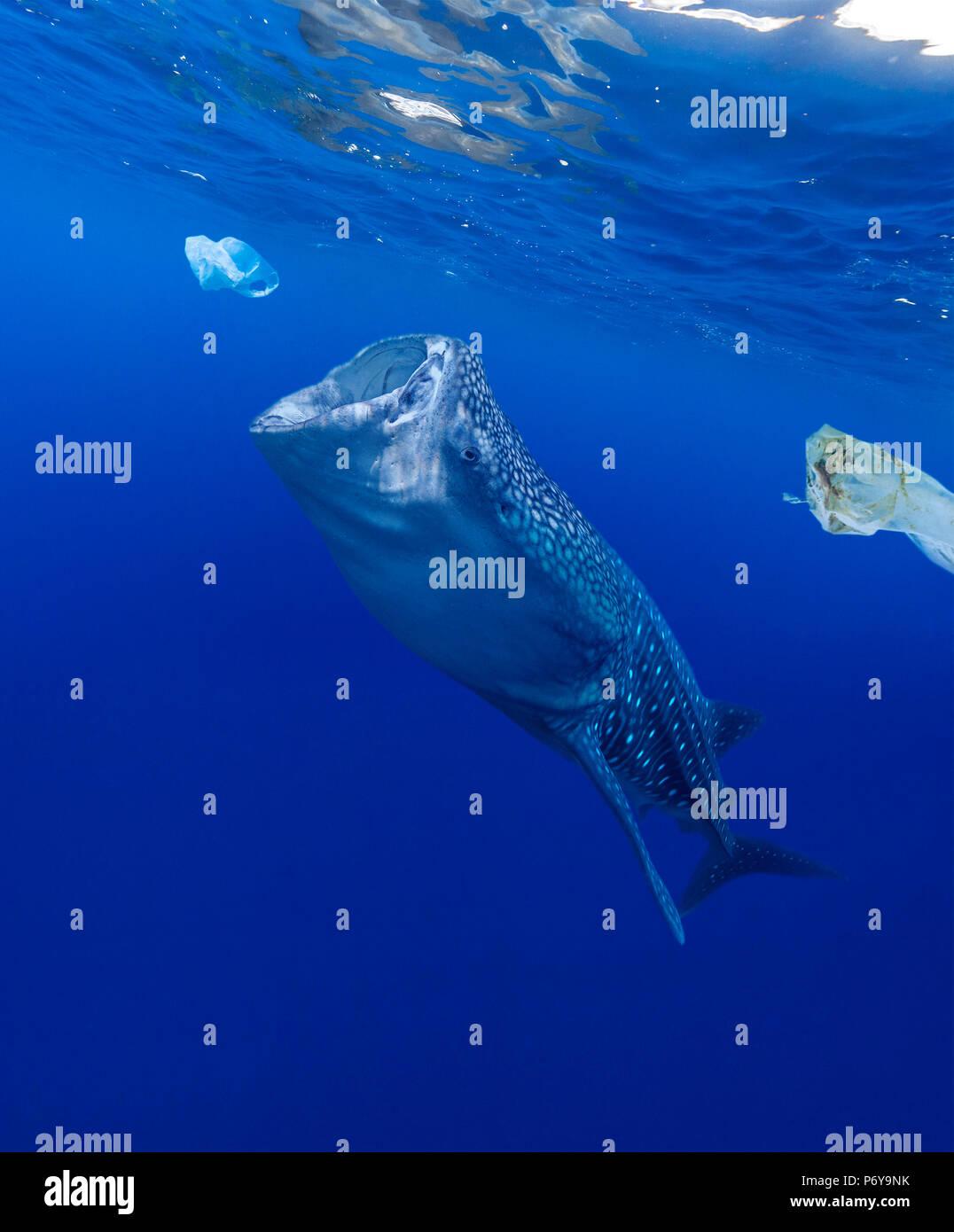 Whale shark, Rhincodon typus, feeding near plastic bags. - Stock Image