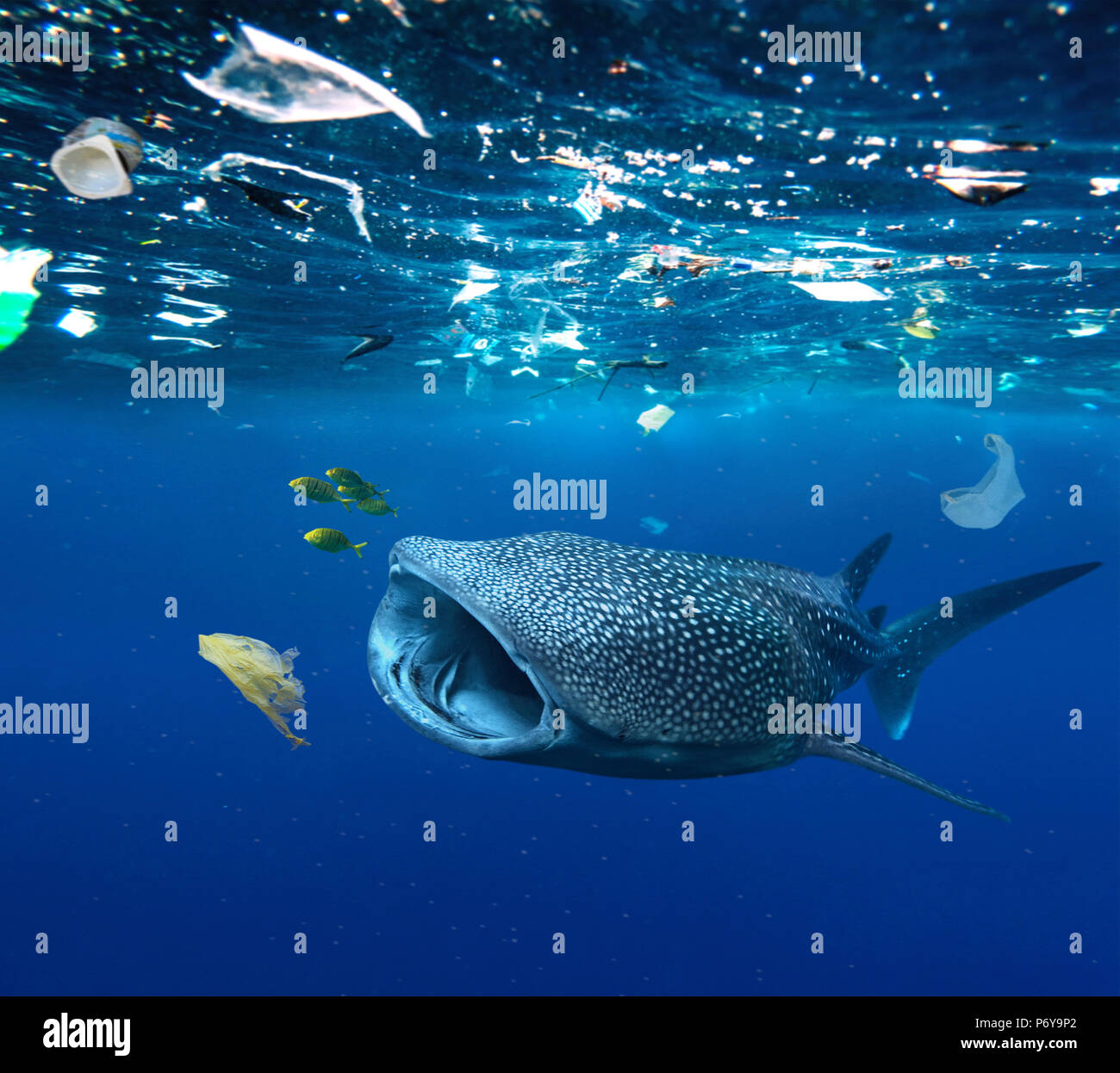 Whale shark, Rhincodon typus, feeding in the middle of plastic bags and other plastic garbage. Stock Photo