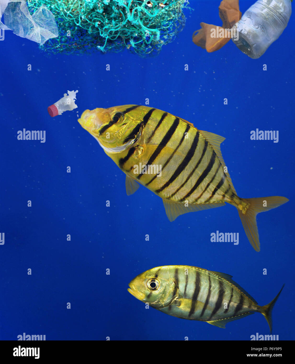 Golden trevally, Gnathanodon speciosus, eating plastic bottle. Stock Photo