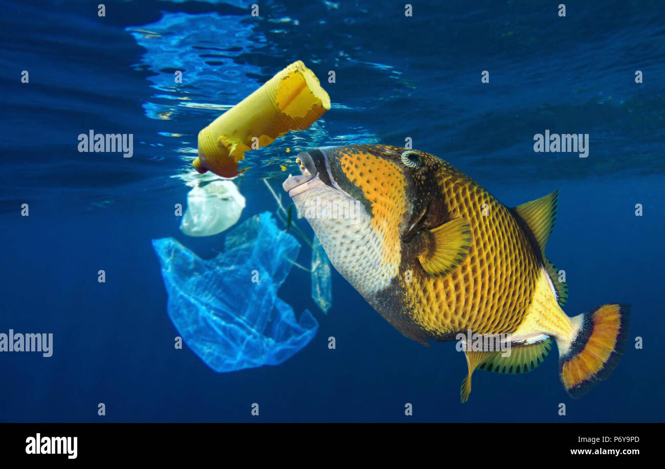 Titan triggerfish, Balistoides viridescens, eating a plastic bottle. - Stock Image