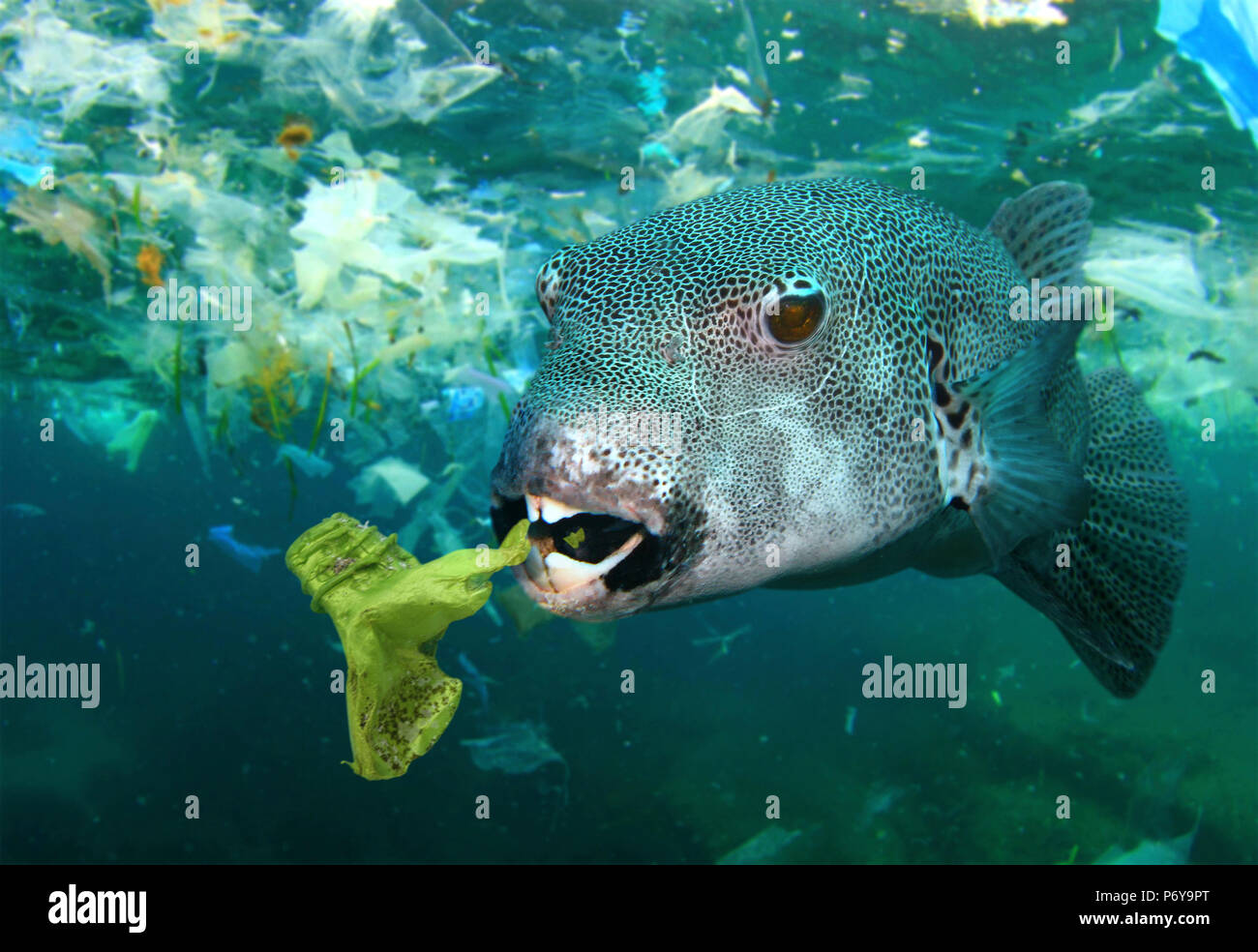 Stellate puffer, Arothron stellatus, eating a plastic bottle. - Stock Image
