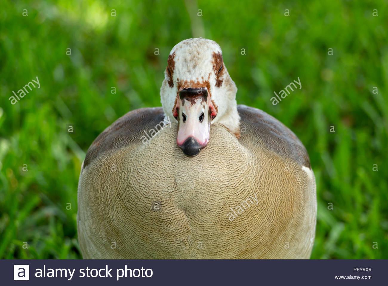 Egyptian goose (Alopochen aegyptiaca) front closeup view, resting with eyes shut - Pembroke Pines, Florida, USA - Stock Image