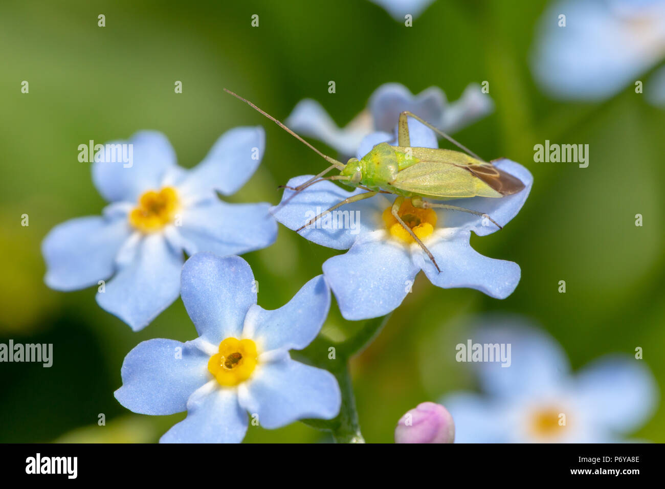 Close-up photo of blue Forget-me-nots with a common green Capsid standing on one flower off-centre. Taken in Poole, England. - Stock Image