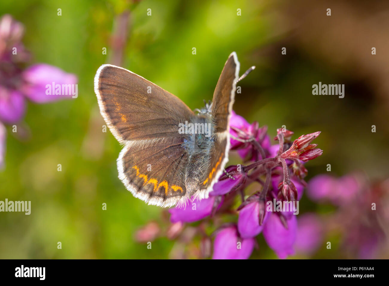 Close-up photo of female Silver-studded blue butterfly with wings open and from above. shot with narrow depth of field on Canford heath nature reserve - Stock Image