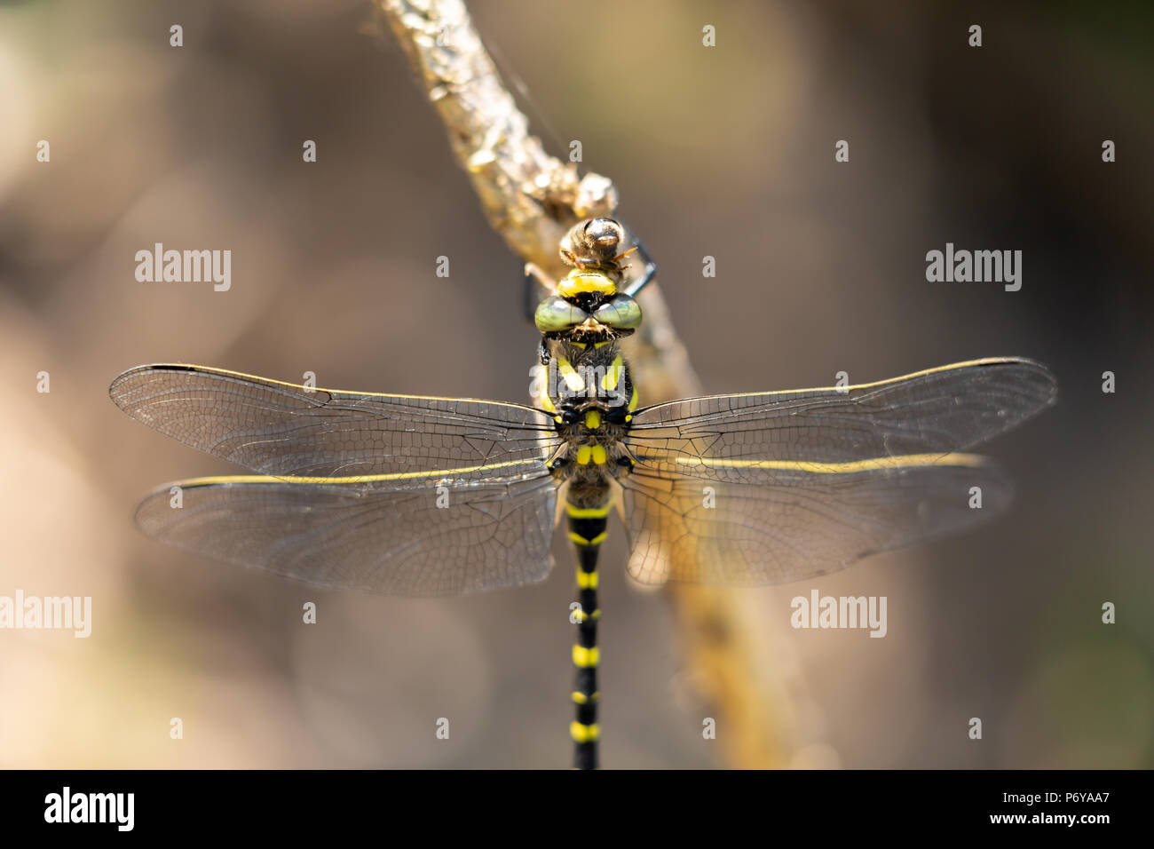 Macro photo of Golden-Ringed Dragonfly perched on stick while consuming its bee prey. Taken on Canford heath nature reserve, Poole. - Stock Image