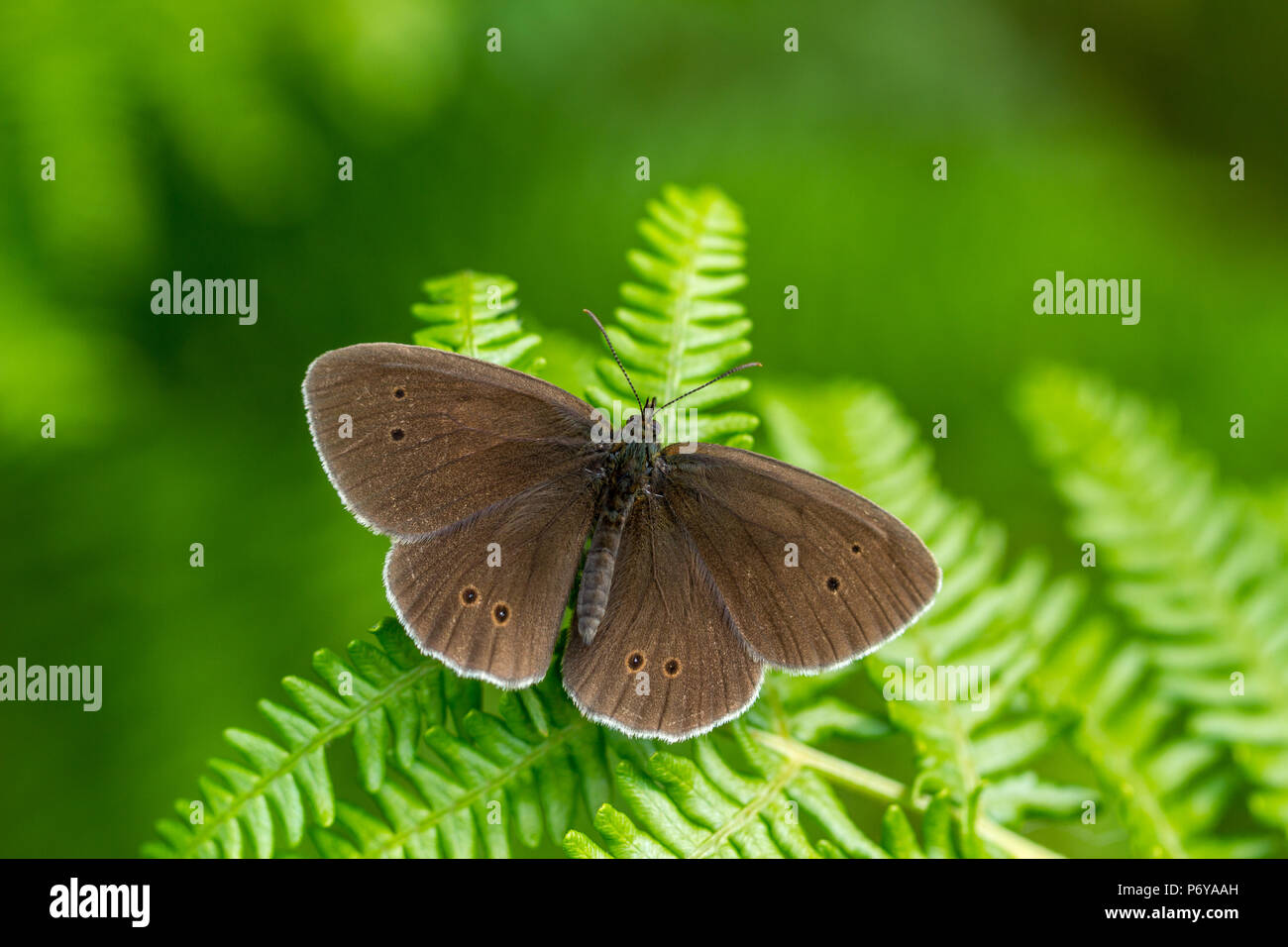 UK wildlife: ringlet butterfly perches on bracken with wings wide open - Stock Image