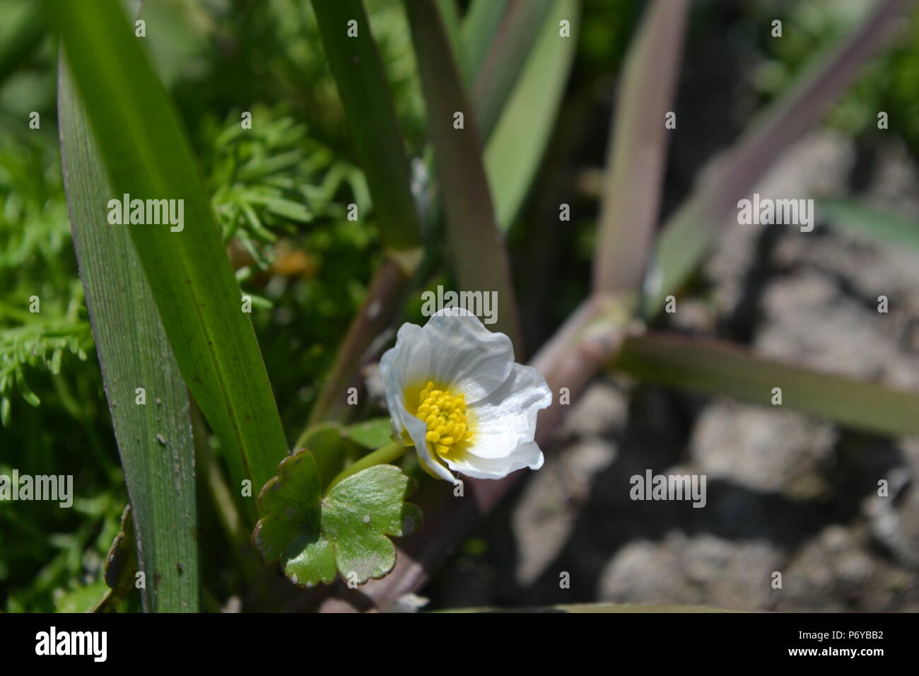 Ranunculus peltatus, with leaf, a Water-crowfoot in the southern England sunshine - Stock Image