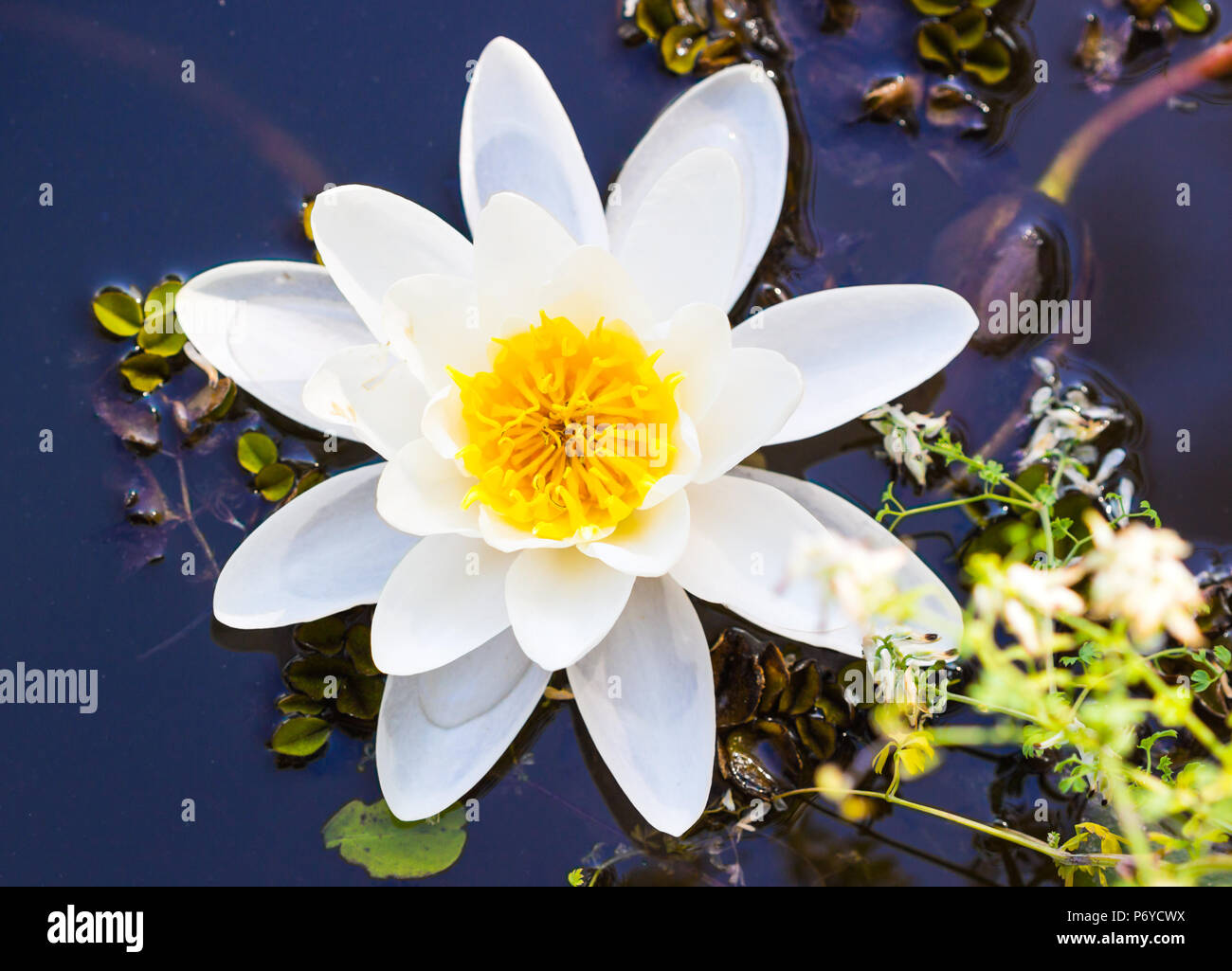 Lotus Flower Background Lotus Flower Floating On The Water Stock