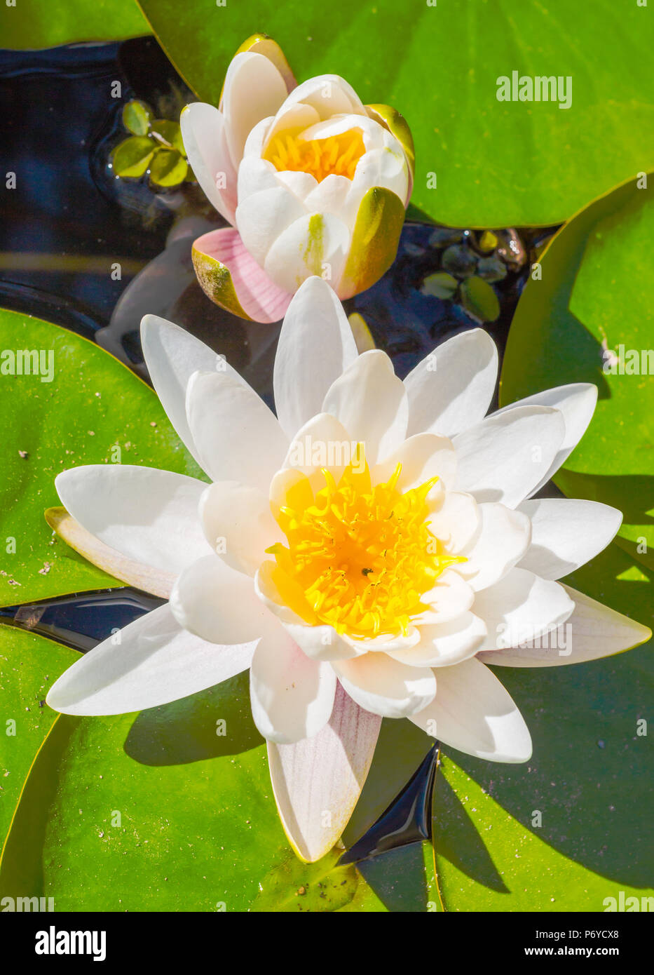Lotus Flower Lotus Flower Floating On The Water With Sunset Light