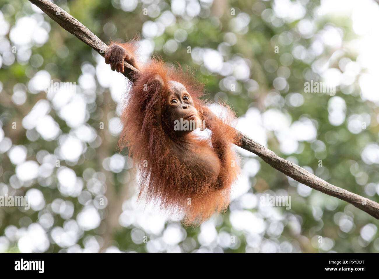 Portrait of a cute baby orangutan having fun in the greenery of a rainforest. Singapore. Stock Photo
