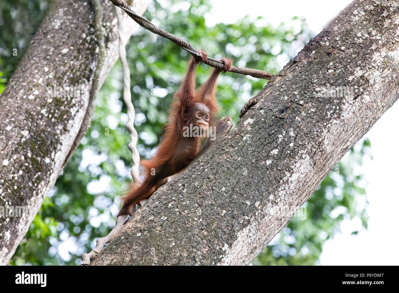 Portrait of a cute baby orangutan having fun in the greenery of a rainforest. Singapore. Stock Photo
