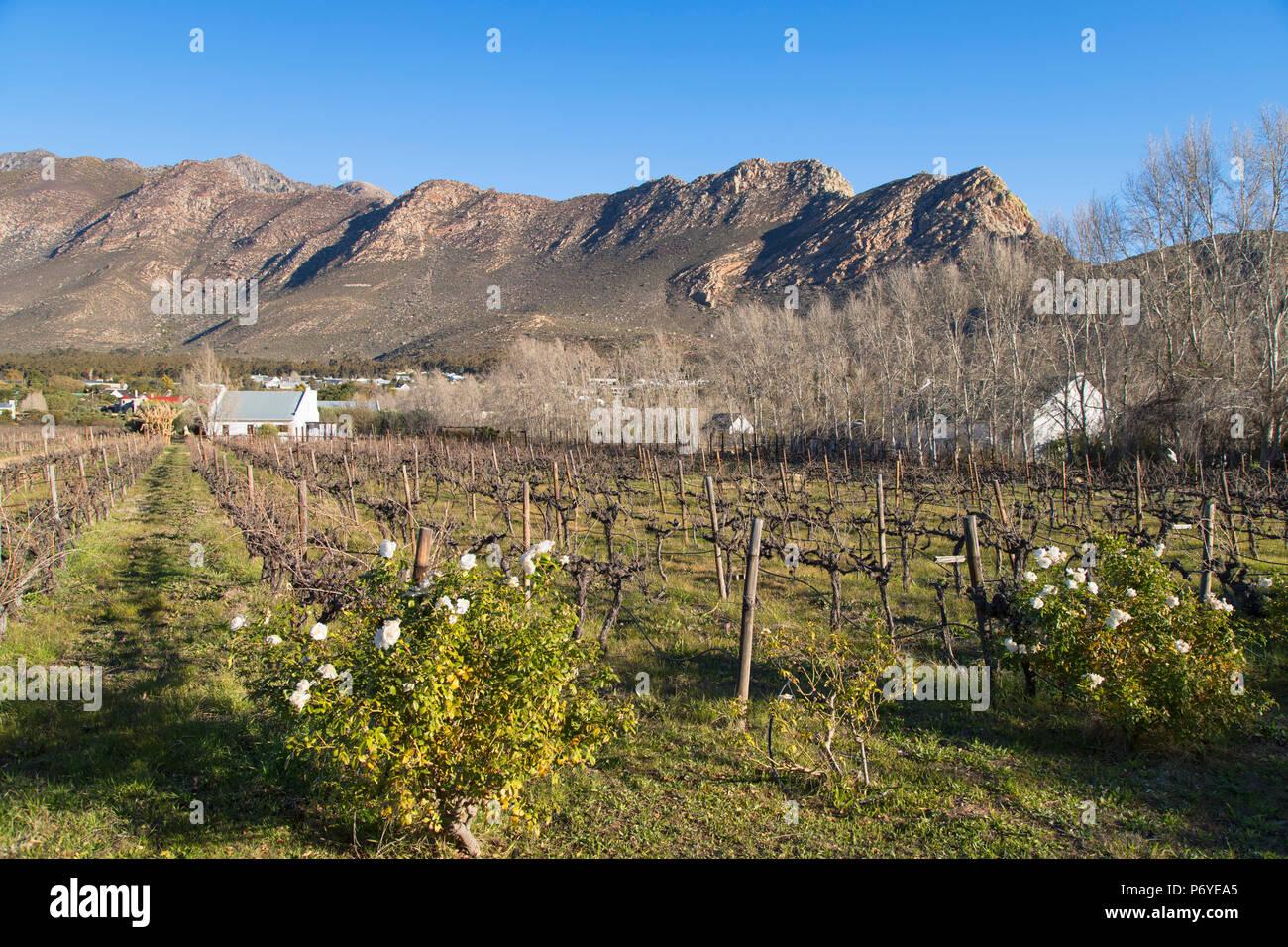 Vineyard, Montagu, Western Cape, South Africa - Stock Image