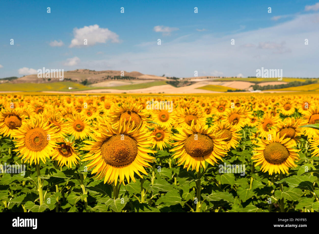Spain, Andalusia, Seville. Sunflower fields outside of Seville - Stock Image