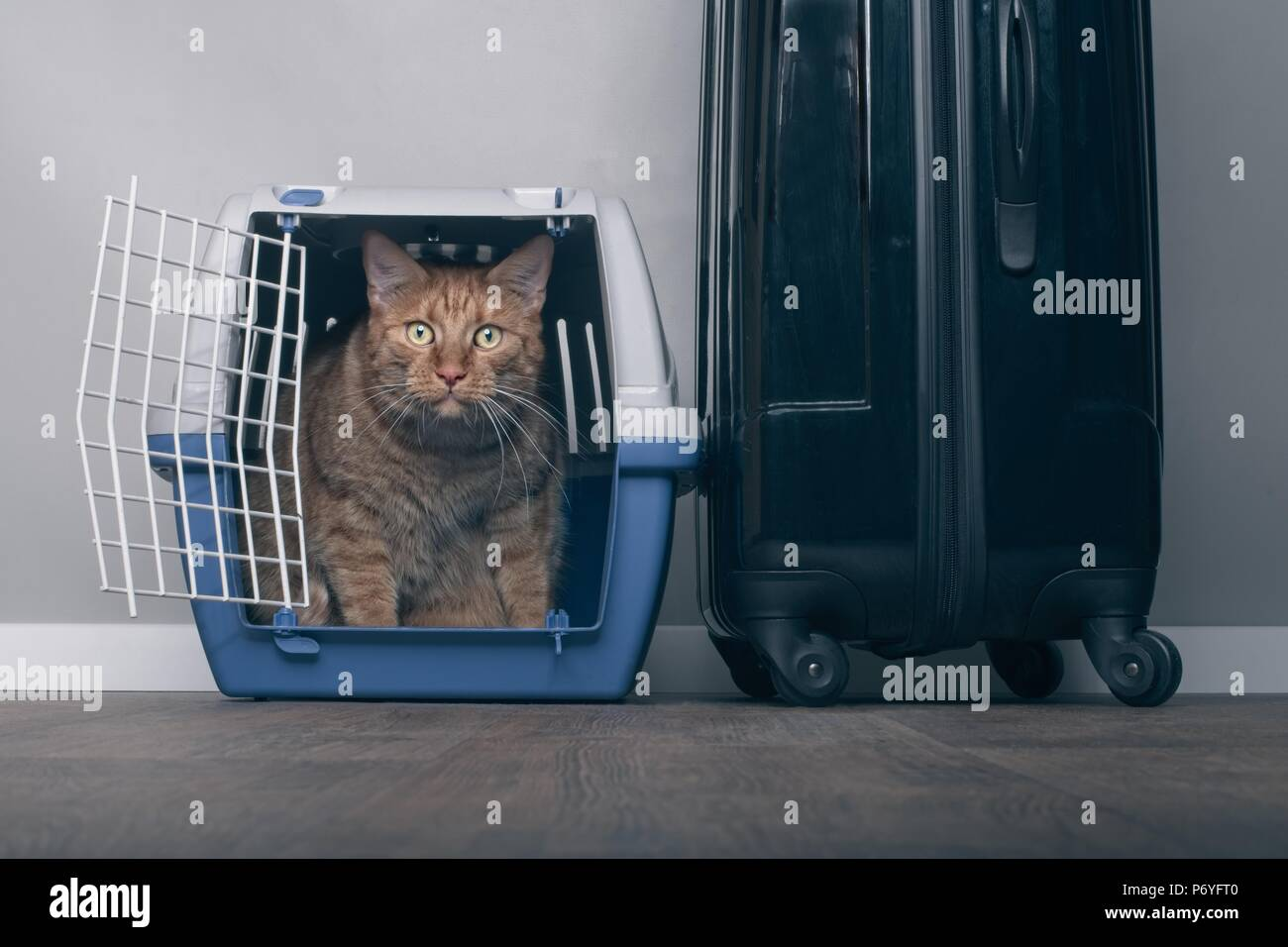 Traveling with a cat - Ginger cat in a pet carrier next to a suitcase. - Stock Image