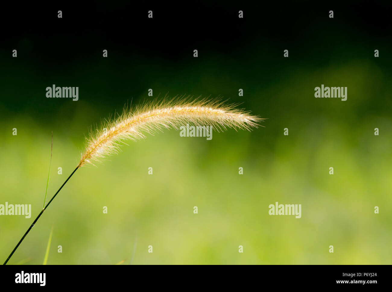 A single stalk of lalang grass swaying in the wind among the grassland. - Stock Image