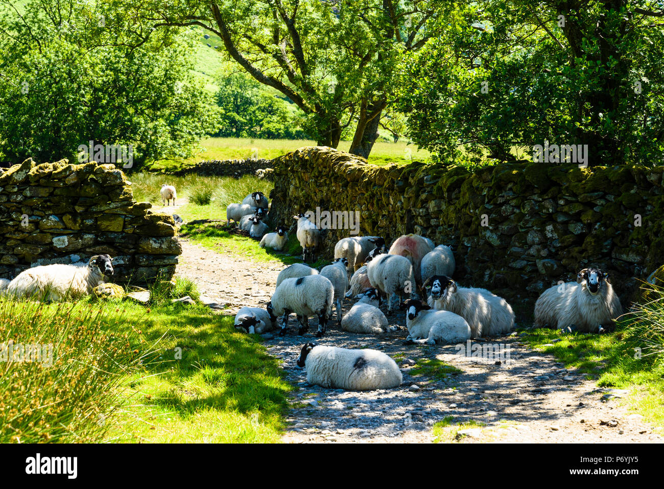 Sheep seek shade on a hot day in Kentmere in the Lake District - Stock Image