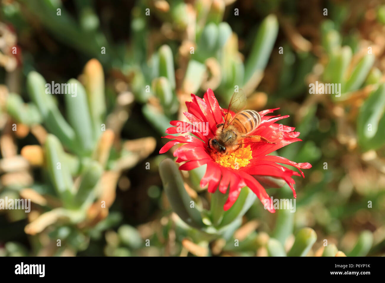 Bee collecting nectar on bright red color karkalla, succulents plants flower, selective focus and blurred background - Stock Image