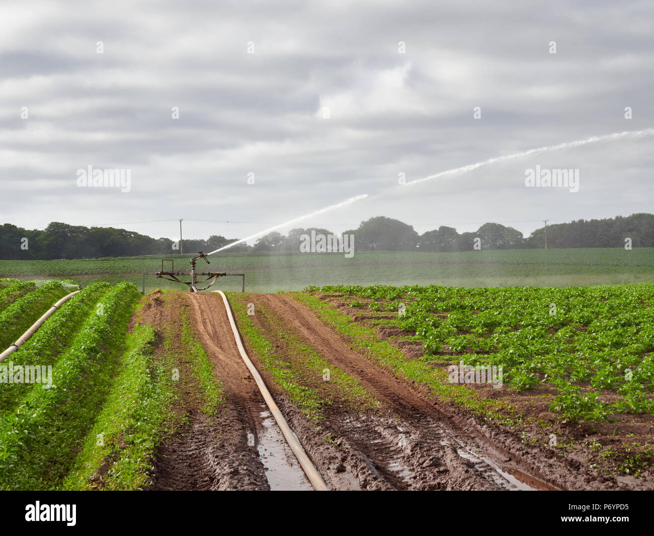 A Wrights Rainmaker Agricultural water Cannon shooting Water out to the right over Furrows of planted Potato Plants in Colliston, Angus, Scotland. - Stock Image