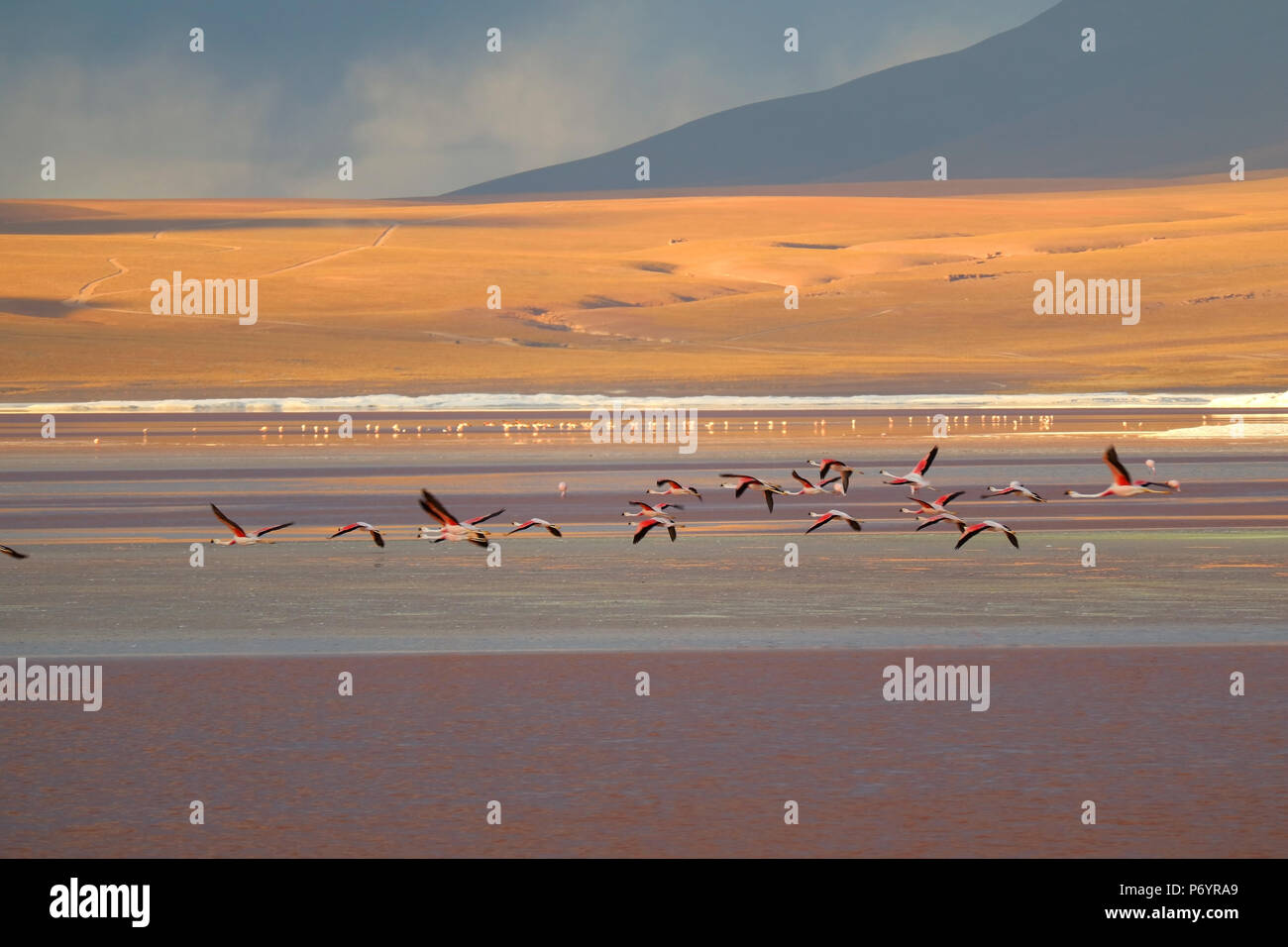 Group of flamingo flying on Laguna Colorada (Red Lagoon), the salt lake at altiplano plateau in Potosi, Bolivia - Stock Image