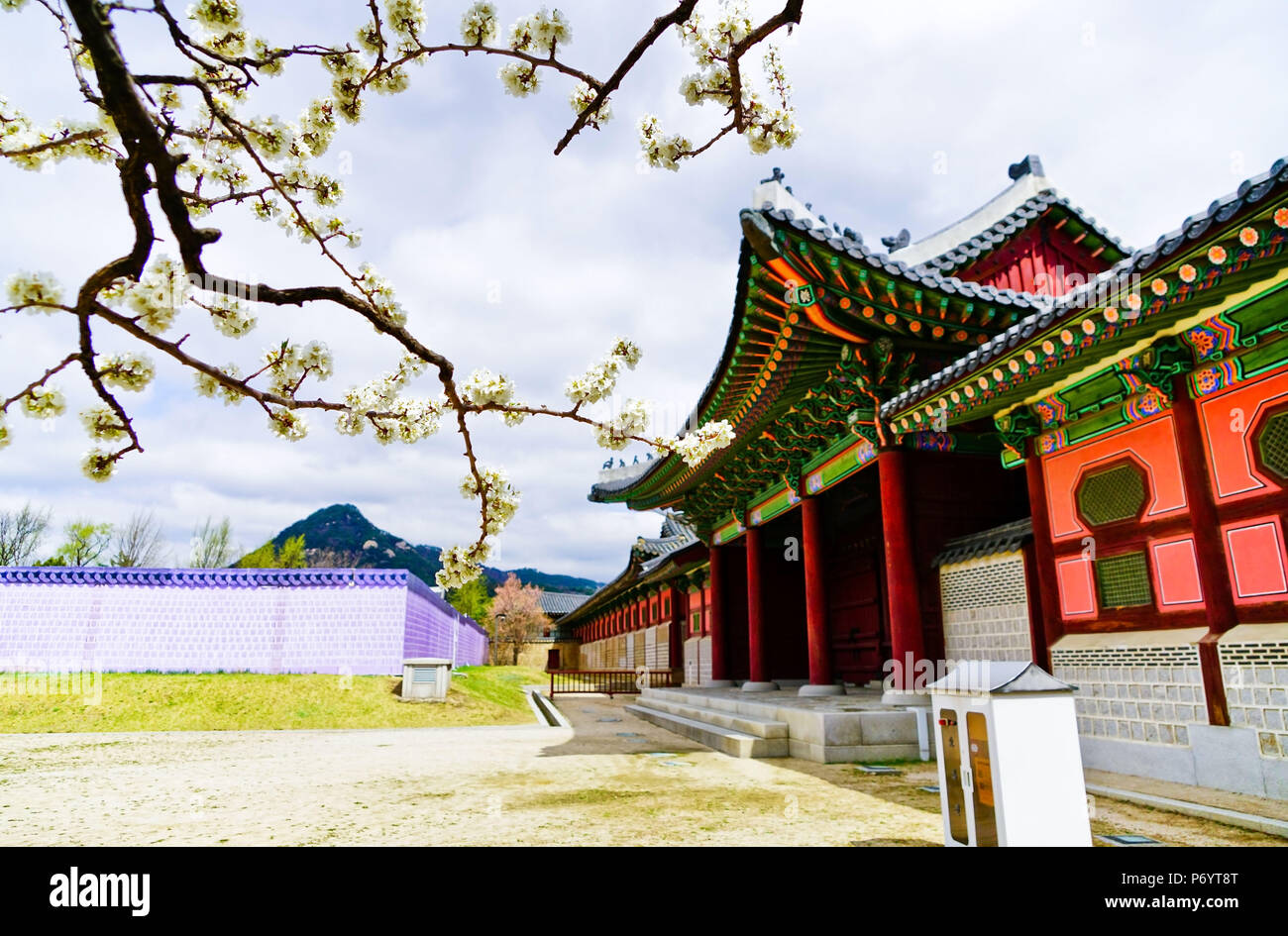 View of the beautiful cherry blossoms at the Gyeongbok Palace in spring in Seoul - Stock Image