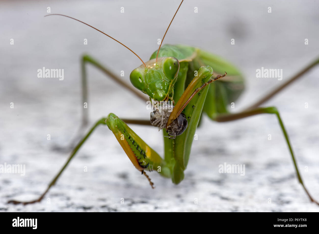 Color outdoor natural wildlife close up macro photography of a single isolated green praying mantis while eating - Stock Image