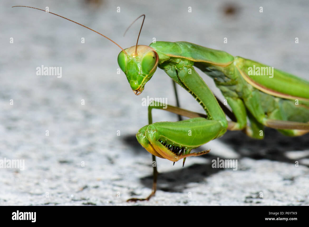 Color outdoor natural wildlife close up macro photography of a single isolated green praying mantis on a stony background - Stock Image
