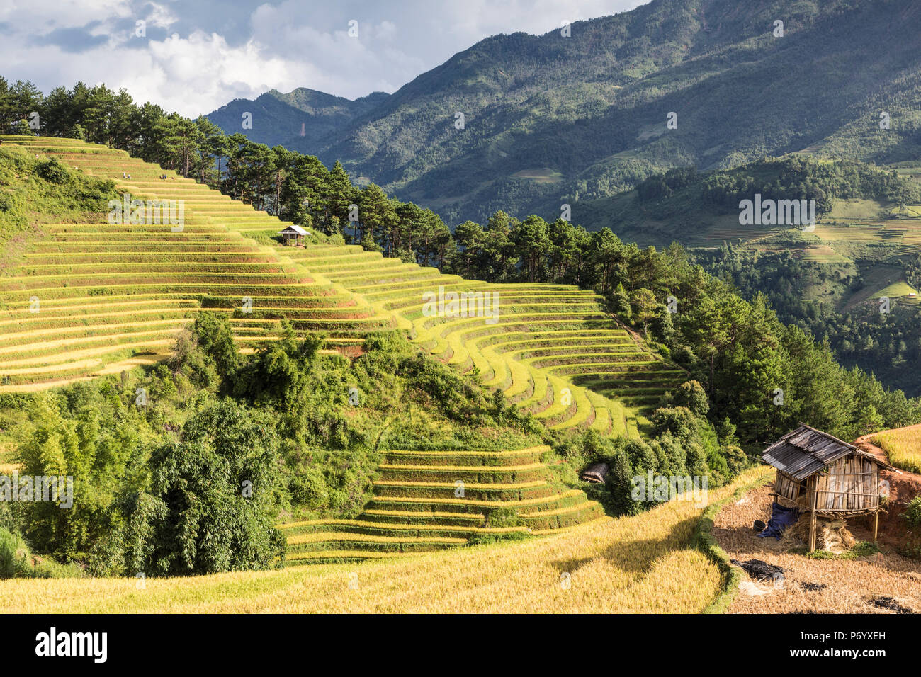 A stilt hut sits on a hillside of rice terraces at harvest time, Mu Cang Chai Yen Bai Province, Vietnam, South-East Asia - Stock Image