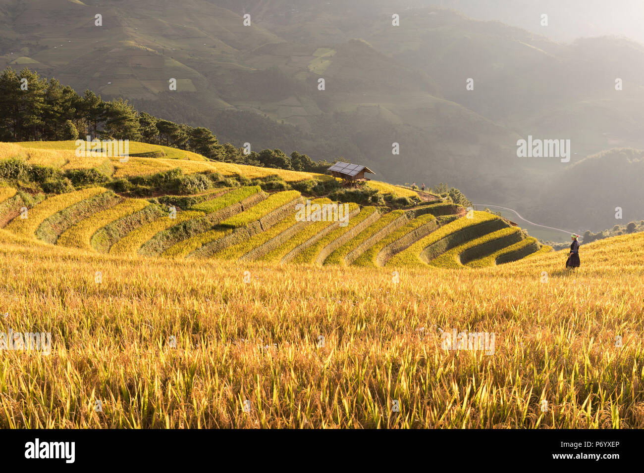 A farmer walks towards a stilt hut surrounded by rice terraces at harvest time, Mu Cang Chai Yen Bai Province, Vietnam, South-East Asia - Stock Image