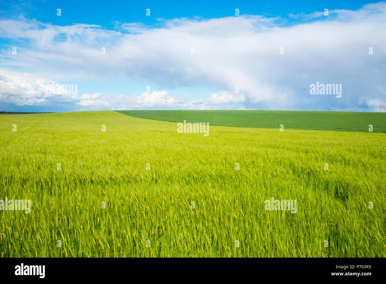 Wheat field in spring. Daimiel, Ciudad Real province, Castilla La Mancha, Spain. - Stock Image