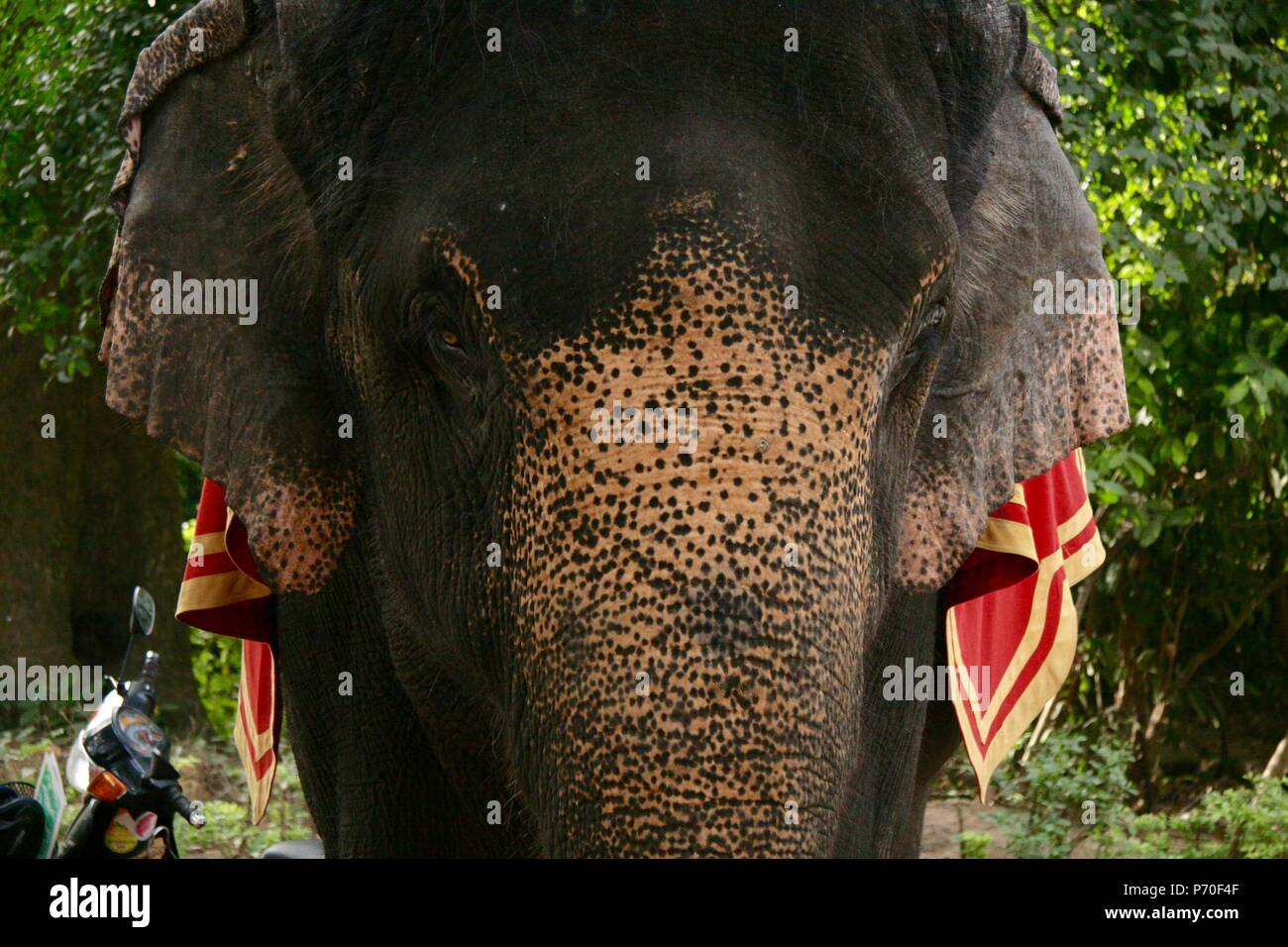 Beautiful female elephant in Siem Reap Provence in Cambodia - Stock Image