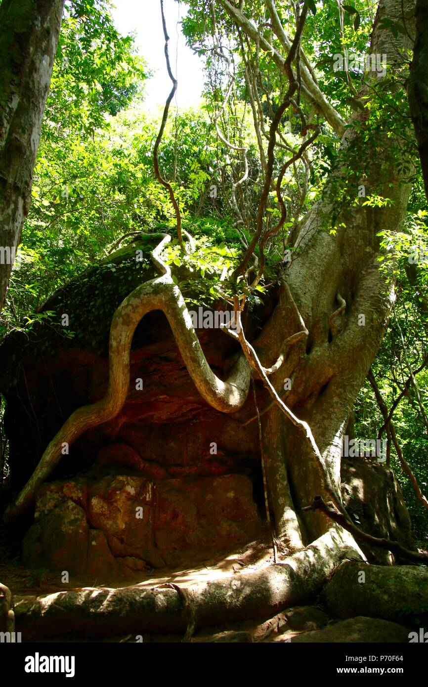 Tree growing on a boulder in the jungles of Cambodia - Stock Image
