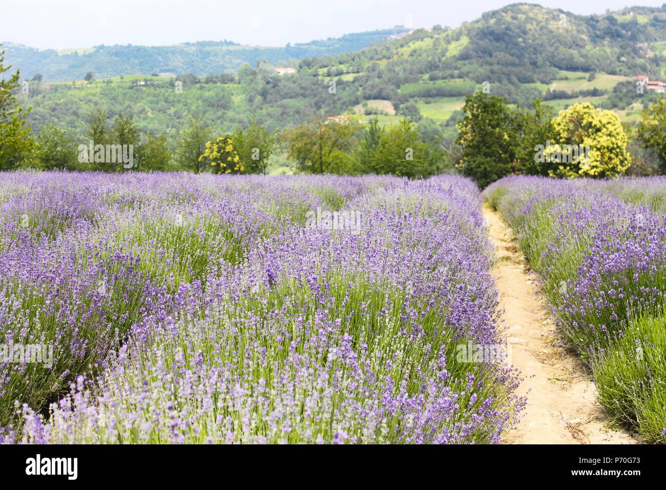 Field of lavender in bloom in France Stock Photo