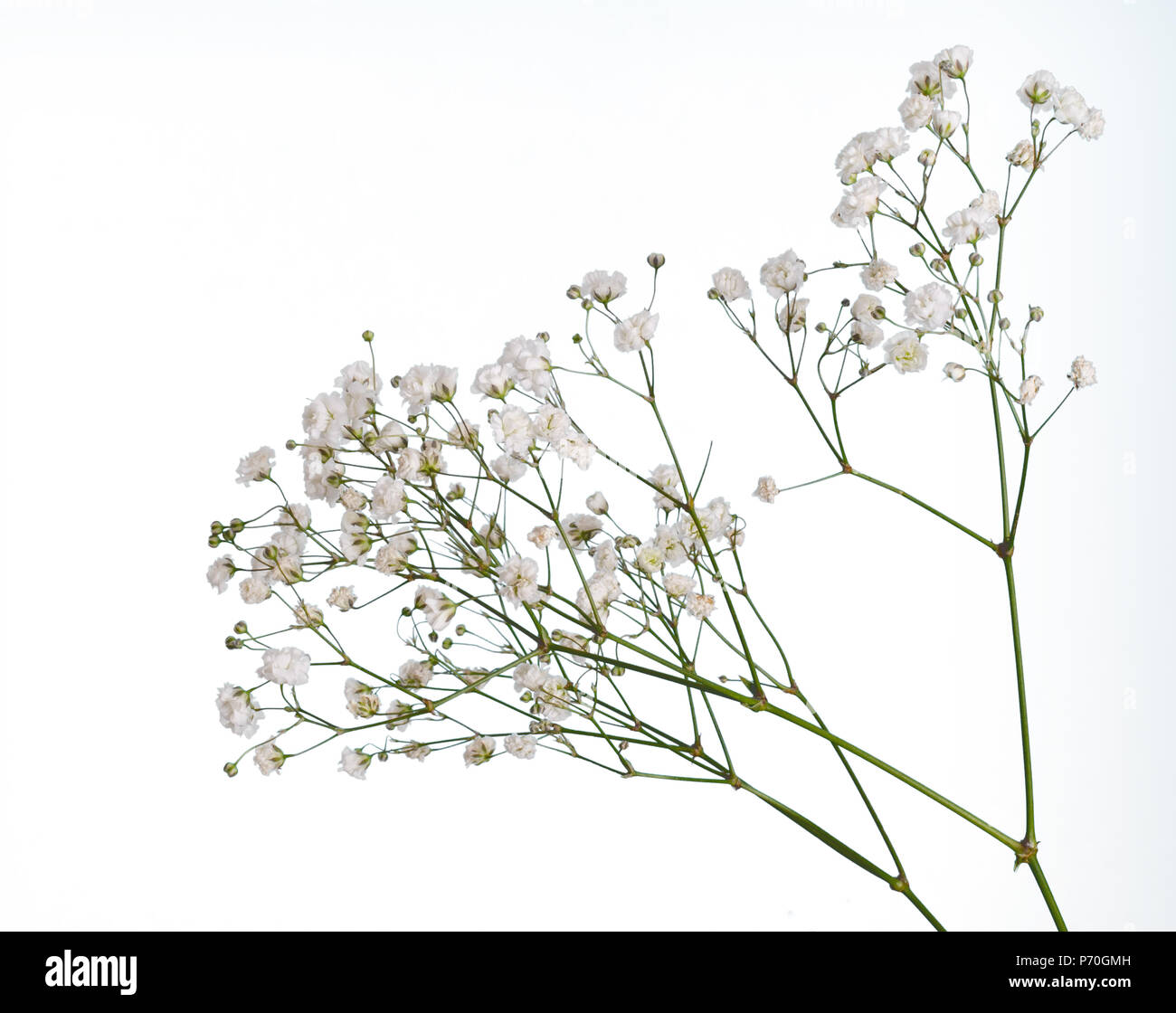 Closeup Of Small White Gypsophila Flowers Isolated On White Stock